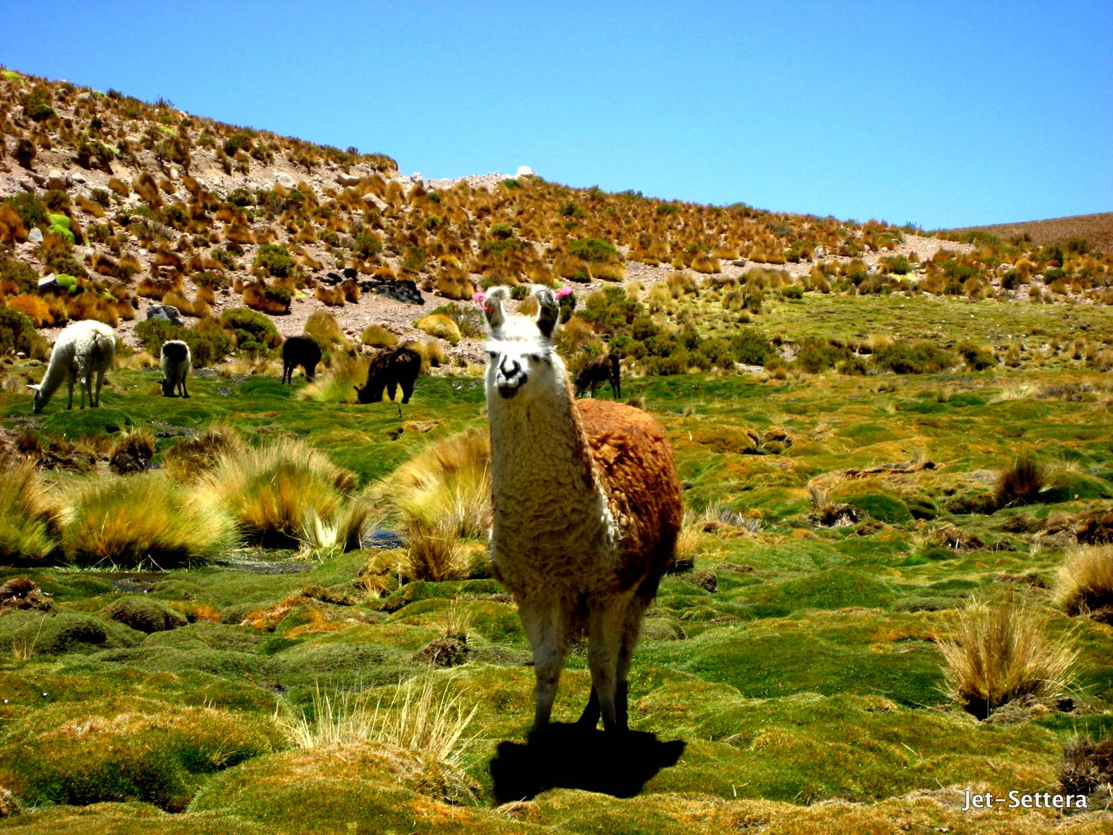 Lamas in Peru - Things to do in Machu Picchu