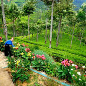 Tea Picking in Pedro Tea Plantation, Sri Lanka