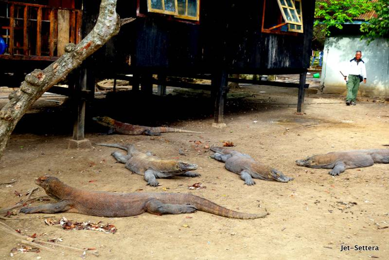 Komodo Dragons in Labuan Bajo - Pictures of komodo dragons